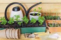 Rostlinky potřebují dostatek vláhy, nejlépe večer při západu slunce.