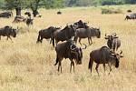 Z afrických zvířat se na dlouhé vzdálenosti vydávají pakoně žíhaní