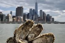 Čištění vod newyorského přístavu pomocí ústřic