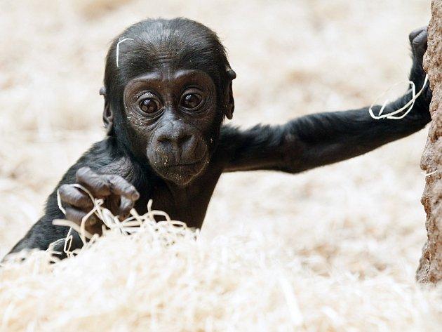 Gorilí sameček Nuru.