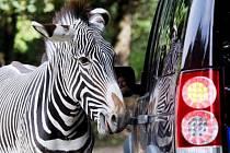 Zebra v Zoo ve Dvoře Králové nad Labem