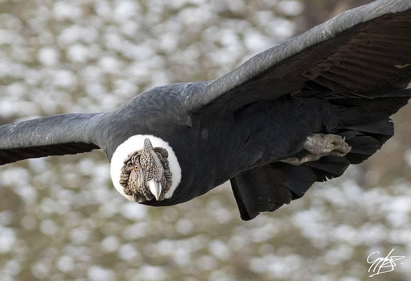 Legendární kondor je známým symbolem Kordiller