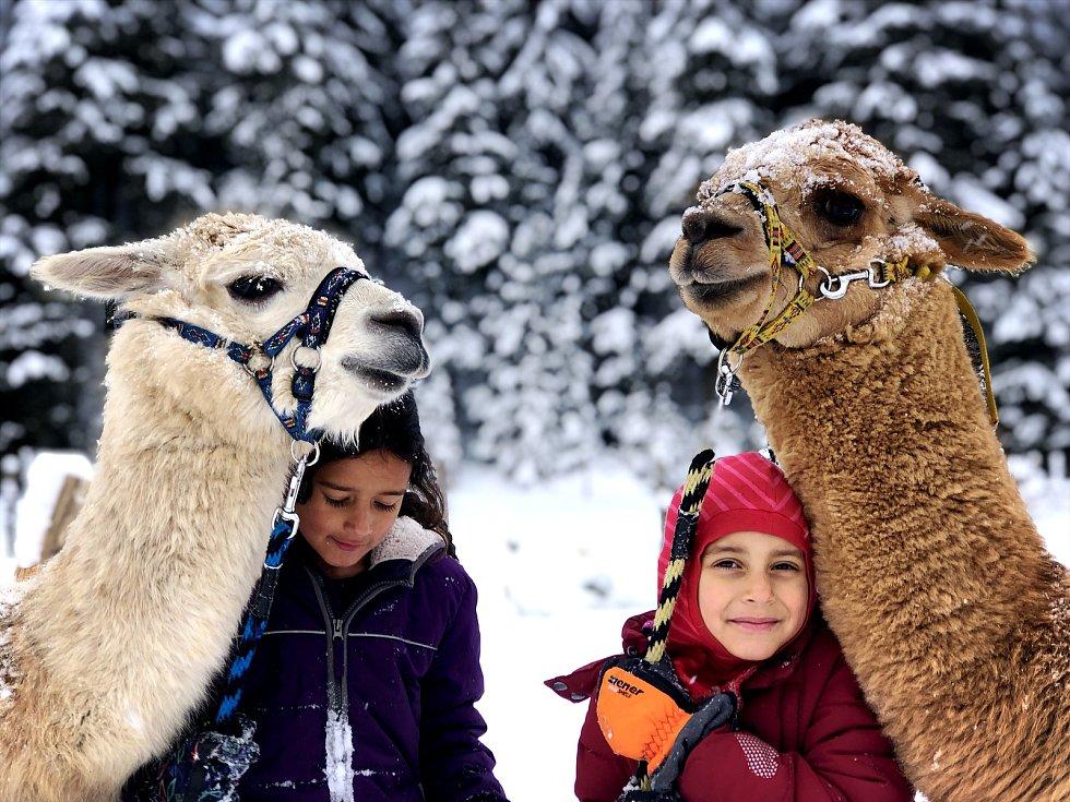 Lamy, zvířata původem z  Peru, mrazivé počasí dobře zvládají. Nemusí se dokonce tak často stříhat, jako v teplém podnebí.
