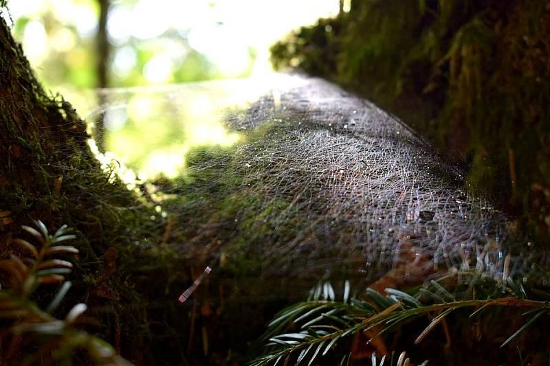 Pavučiny jsou nejhezčí po ránu, kdy se na nich třpytí kapičky rosy