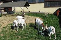 Kozy na biofarmě. Ilustračni foto