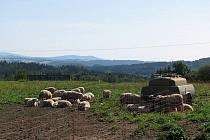 Ovce na biofarmě. Ilustrační foto