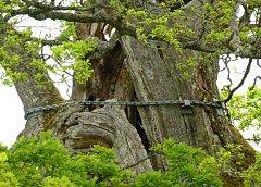 Kvill Oak, jinak též nazývaný Rumskulla Oak, byl poprvé zaznamenán v roce 1772.
