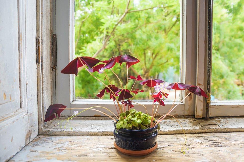 Štavel lze pěstovat na zahradě i v bytě
