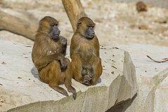 Paviáni z pařížské zoo, ilustrační foto