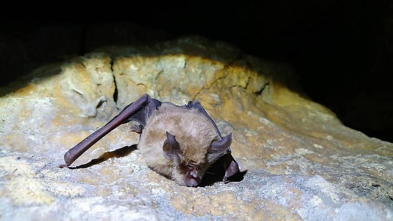 Koronaviry podobné pandemickému SARS-Cov-2 objevili vědci zejména ve vrápencích, tedy netopýrech z čeledi vrápencovitých