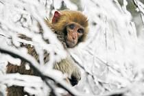 Rozmary počasí trpí v Číně také makakové.