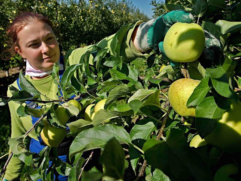 V minulém roce se v Česku sklidilo asi 111 tisíc tun jablek, nyní by to mělo být o sedm procent více.