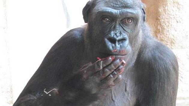 Gorila Kijivu porodila v pražské zoo své třetí mládě