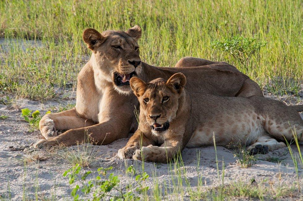 Podle vědců existuje velká pravděpodobnost, že když jeden lev ze svorky zívne, a jiný ho vidí, pozorovatel do tří minut zívne také.