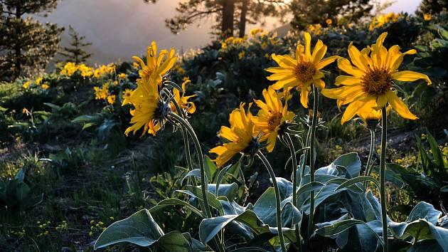 Arnica montana, známá i jako prha arnika či arnika horská