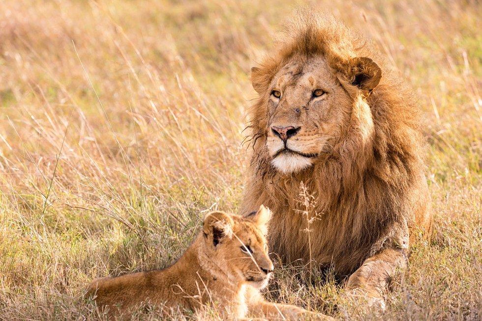 Lvi podle pozorování vědců zívají nejen když se nachází mezi bdělostí a spánkem, ale zároveň zíváním mezi sebou i komunikují.