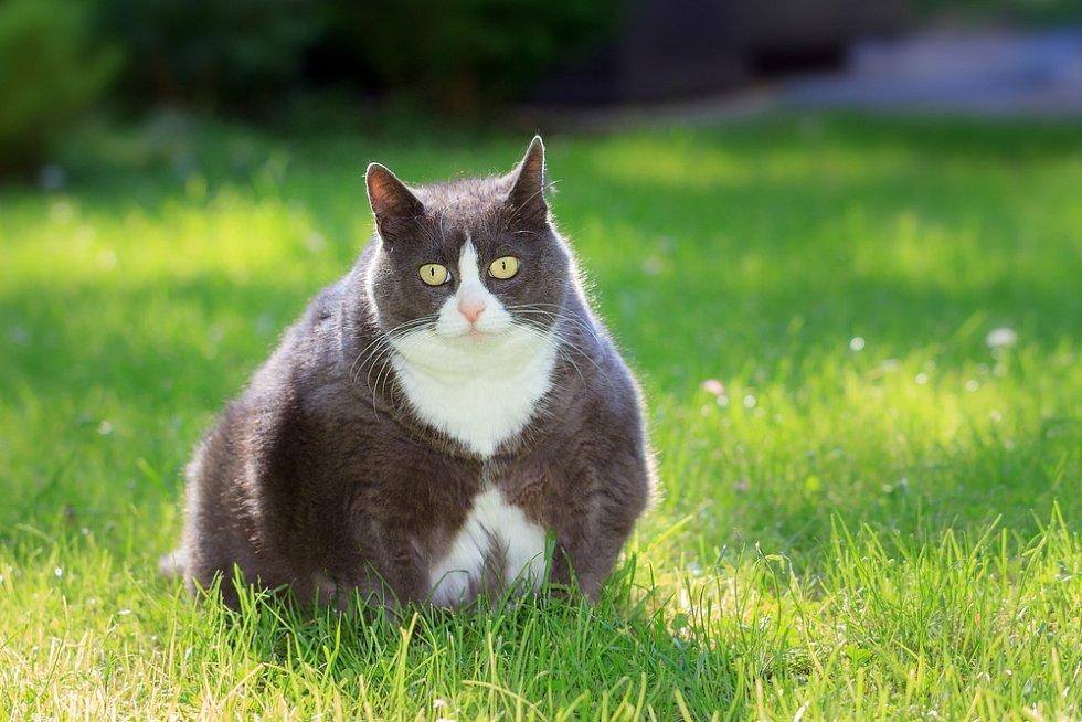 Problémy se nevyhýbají ani kočkám. Těch trpí diabetem zhruba dvě procenta.
