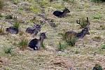 V karlovarské oboře Svatý Linhart pobíhají třeba daňci skvrnití, jeleni siky Dybowského nebo prasata divoká.