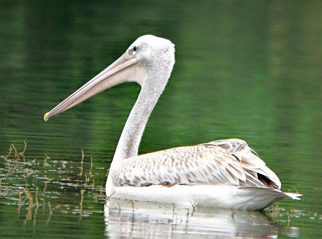 Přerovští ornitologové pomáhali vypátrat, odkud přilétl na jezero v Moravičanech vzácný pelikán. Zjistili, že uprchl ze zoologické zahrady v rakouském Salzburgu.
