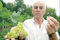 JEŠTĚ ZRAJE. Vinař Ivan Váňa ukazuje zrající hrozny na vinici pod Hněvínem. Ještě není správně sladké, ale zloději otrhali už tři řady vinice. Riskují poškození jater, ledvin i slézání nehtů.
