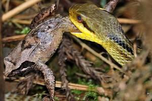 Hady žijící ve vyloučené zóně Fukušimy lze využít ke sledování radioaktivní kontaminace
