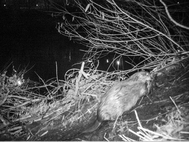V Praze se po více než 185 letech usadili bobři evropští, potvrdily to záznamy z fotopastí vědců z České zemědělské univerzity.
