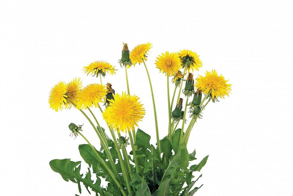 Vytrvalá bylina dosahuje výšky až 30cm, podlouhlé listy rostou vrůžicích.