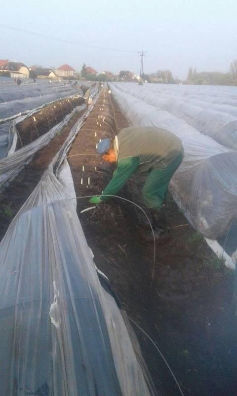 Zajímavostí je, že trvá tři roky, než sazenice začnou plodit, do té doby se o ně musí pěstitel starat.