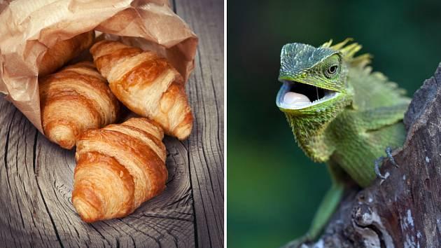 Croissant nebo leguán?