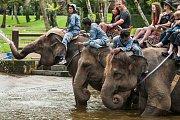 Jízda na slonech je oblíbenou turistickou atrakcí. Skrývá se za ní však utrpení.