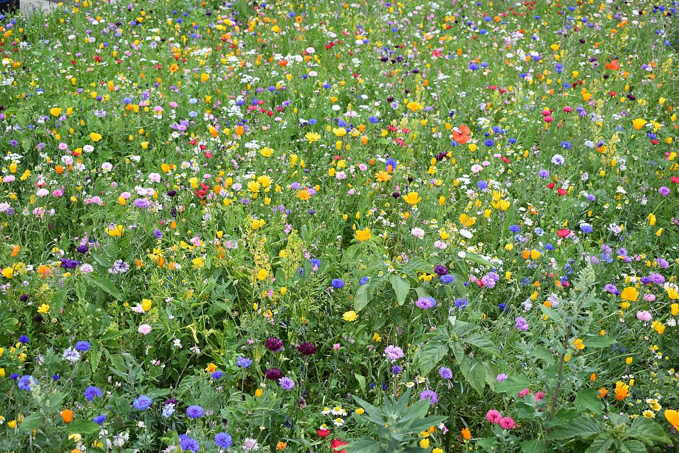 Na  deseti  místech v Teplicích můžete vidět krásnou  výsadbu letniček trvalkové směsi s přímého výsevu, která slouží jednak krásnému pohledu, ale také hmyzu, jako čmelákům, včelám a dalším jako potrava. Taková výsadba je v Alejní ulici, na točně MHD u An
