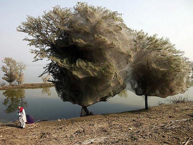 Stromy se v provincii Sindh změnily v opravdové pavoučí kokony.