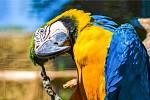 Papoušek ara ararauna