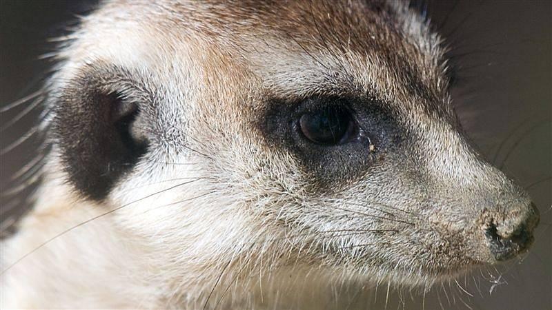 Aby zvířata nikdo neobtěžoval, není Farma Buk přístupná veřejnosti. Surikata