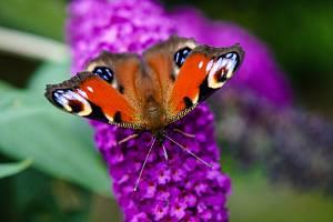 Komule Davidova je keř, který spolehlivě přiláká motýlky.
