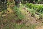 Citronová tráva - Ilustrační foto