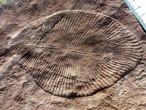 Nejstarší fosilie na světě Dickinsonia