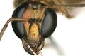 Včela se narodila se vzácnou anomálií: z jedné strany vypadá jako samec, z druhé jako samice