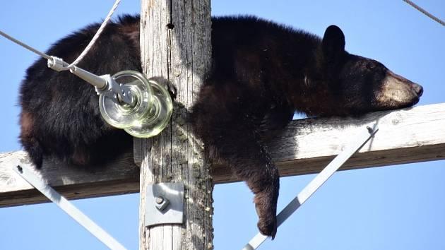 Medvěd uvízl na sloupu elektrického napětí