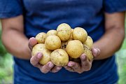 Rané brambory - Ilustrační foto