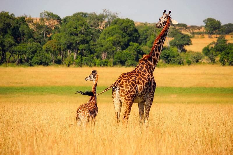 Žirafa musí mít velmi vysoký krevní tlak.