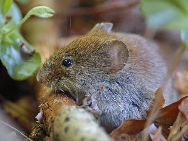 Geneticky upravené myši poslouží vědcům ve výzkumu plicních nemocí.