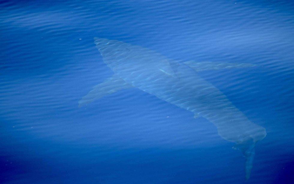 Velký bílý žralok u břehů Mallorcy