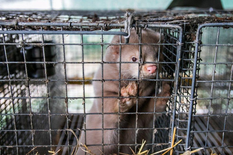 Jenom na kožešinových farmách v Utahu bylo vybito téměř 10 tisíc norků, ve Španělsku dokonce více než 90 tisíc