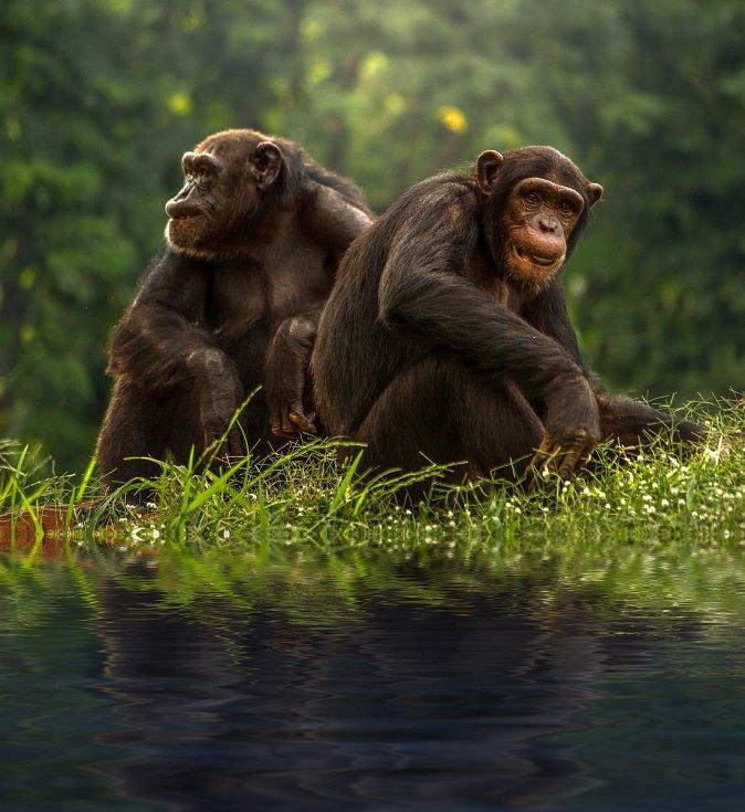 Pár šimpanzů.