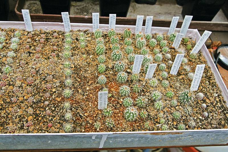 V únoru vyseté semenáče rodu Echinocereus; další rok zůstanou na místě, potom dva roky v krabici anakonec přijdou do květináčů.