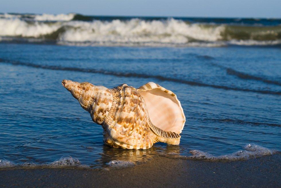 Tritonky, velcí mořští plži, obývají oceány i dnes