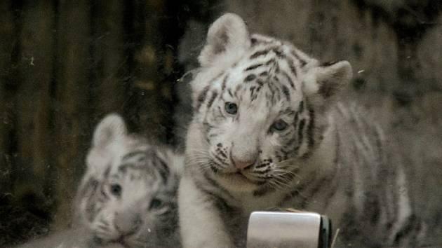 Jména pro mláďata vzácných bílých tygrů narozená na konci února vybere liberecká zoo na základě tipů od veřejnosti.
