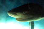 Žralok šedý