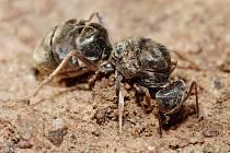 Mravenčí kolonie je v izolovaných podmínkách schopná přežívat i bez královny, ukázal objev